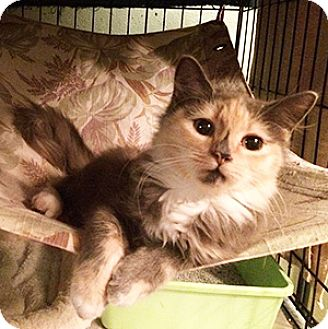 Calico Kitten for adoption in Metairie, Louisiana - Madison