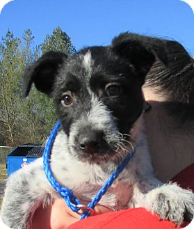 Blue Heeler Mix Puppy for adoption in Reeds Spring, Missouri - Igor