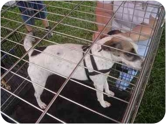 Jack Russell Terrier Mix Dog for adoption in Marion, North Carolina - Jenny