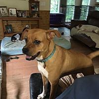 Boxer Mix Dog for adoption in Blue Ridge, Georgia - Marcy