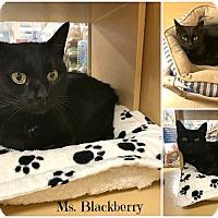 Adopt A Pet :: Blackberry - Spring Brook, NY