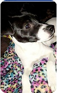 Jack Russell Terrier Mix Dog for adoption in Red Lion, Pennsylvania - Naana