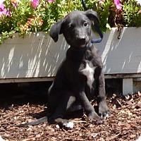 Adopt A Pet :: jesse - Bedminster, NJ