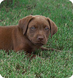 Labrador Retriever/Retriever (Unknown Type) Mix Puppy for adoption in Westport, Connecticut - *Max - PENDING