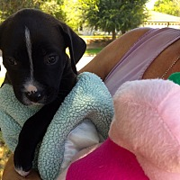 Adopt A Pet :: Savannah Sparkels Dances - Corona, CA