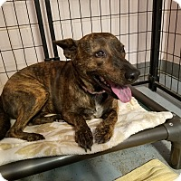 Pit Bull Terrier Mix Dog for adoption in Phoenix, Arizona - XOLI