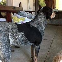 Adopt A Pet :: ROSIE COURTESY POST - Tucson, AZ