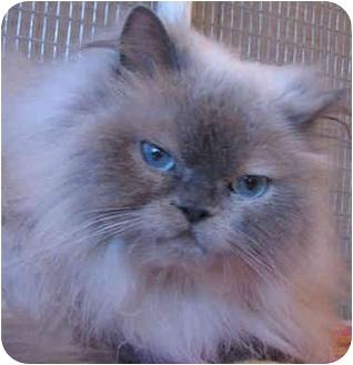 Himalayan Cat for adoption in Davis, California - Panther