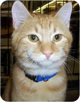 Domestic Shorthair Kitten for adoption in Overland Park, Kansas - Rascal