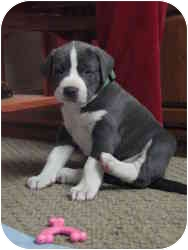 Cane Corso/American Pit Bull Terrier Mix Puppy for adoption in New York, New York - Pups