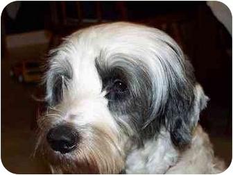 Tibetan Terrier Mix Dog for adoption in Homer, New York - Kaji