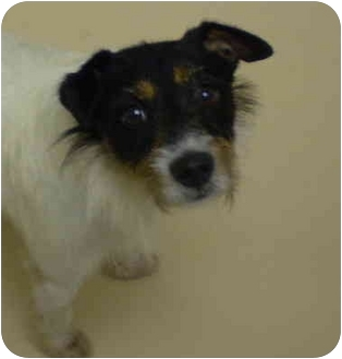 Jack Russell Terrier Mix Dog for adoption in Deer Park, Texas - Jack