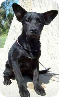 Labrador Retriever/Corgi Mix Puppy for adoption in North Judson, Indiana - Batz