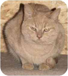 Domestic Shorthair Cat for adoption in Strathmore, Alberta - Sullivan