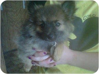 Pomeranian Puppy for adoption in Goleta, California - Sissy