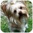Photo 1 - Yorkie, Yorkshire Terrier Dog for adoption in Kokomo, Indiana - Soxx