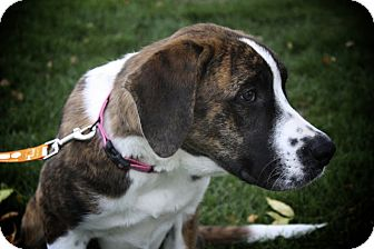 St. Bernard Mix Puppy for adoption in Broomfield, Colorado - Cali
