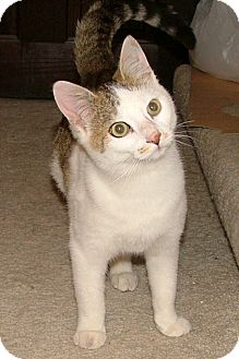 Domestic Shorthair Kitten for adoption in Chattanooga, Tennessee - Arlo