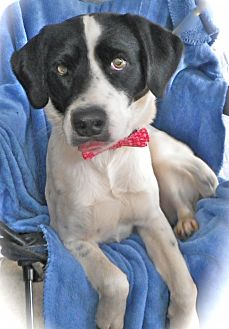 Setter (Unknown Type) Mix Dog for adoption in Metamora, Indiana - Cash