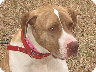 American Bulldog/Mastiff Mix Dog for adoption in Smithfield, North Carolina - Bubba