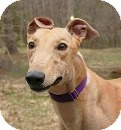 Greyhound Dog for adoption in Ware, Massachusetts - Brody