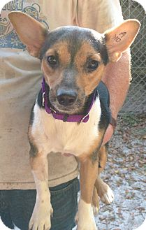 Rat Terrier/Chihuahua Mix Dog for adoption in Gainesville, Florida - Marbles