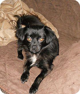 Pekingese Mix Dog for adoption in Sylva, North Carolina - Precious
