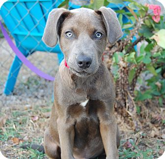 Weimaraner Mix Puppy for adoption in Bradenton, Florida - Bolt