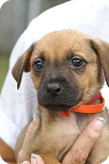 Black Mouth Cur/Labrador Retriever Mix Puppy for adoption in Englewood, Florida - Lana