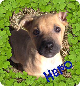 Shepherd (Unknown Type)/Terrier (Unknown Type, Medium) Mix Puppy for adoption in Brazil, Indiana - Hero