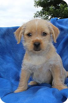 Maltese/Terrier (Unknown Type, Small) Mix Puppy for adoption in Hagerstown, Maryland - Cupcake