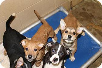 Border Collie/Labrador Retriever Mix Puppy for adoption in Decatur, Georgia - 5 Pups