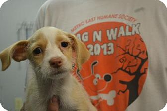 Jack Russell Terrier Mix Puppy for adoption in Edwardsville, Illinois - Sugar