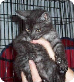 Domestic Shorthair Kitten for adoption in Blackstone, Virginia - Jax