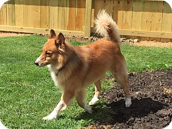 Collie/Golden Retriever Mix Dog for adoption in Mentor, Ohio - MURPHY**4ish yrs old & 42 lbs!!!