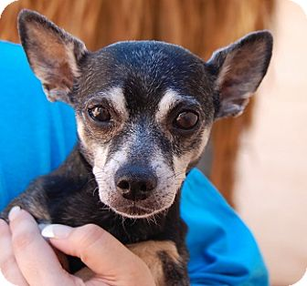 Miniature Pinscher/Chihuahua Mix Dog for adoption in Las Vegas, Nevada - Little Andy