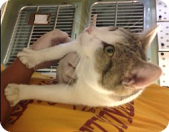 Domestic Shorthair Cat for adoption in Milton, Massachusetts - Cashew