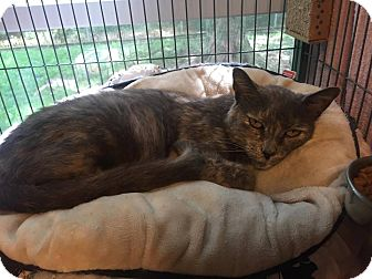 Domestic Shorthair Cat for adoption in Hanna City, Illinois - Rosemary