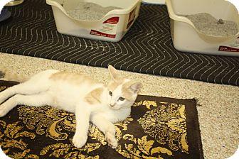 Domestic Shorthair Kitten for adoption in St. Louis, Missouri - Skarsky