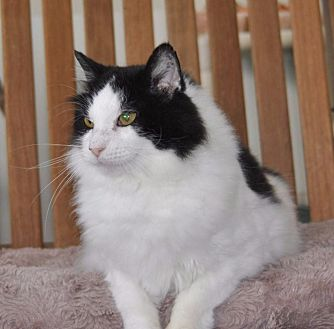 Domestic Longhair Cat for adoption in Sunrise Beach, Missouri - Momma Kitty