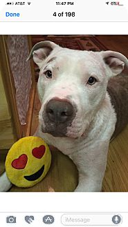 American Pit Bull Terrier Mix Dog for adoption in Anchorage, Alaska - Cruz