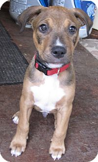 Pit Bull Terrier Mix Puppy for adoption in San Francisco, California - Trent