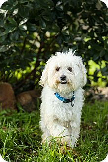Poodle (Miniature)/Shih Tzu Mix Dog for adoption in Auburn, California - Max