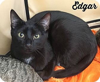 Domestic Shorthair Cat for adoption in Bentonville, Arkansas - Edgar