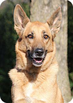 German Shepherd Dog/Belgian Malinois Mix Dog for adoption in Nashville, Tennessee - Phoebe