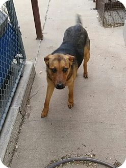 Shepherd (Unknown Type) Mix Dog for adoption in Sand Springs, Oklahoma - Marigold