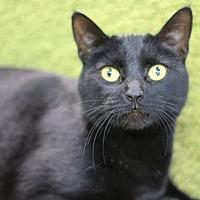 Adopt A Pet :: Slinky Malinki - Raleigh, NC