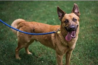Belgian Malinois Mix Dog for adoption in Mt. Pleasant, Michigan - Cyrus (IN FOSTER)