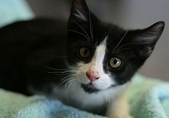 Domestic Shorthair Kitten for adoption in Canoga Park, California - Sir Gibby