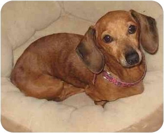 Dachshund Dog for adoption in Jacobus, Pennsylvania - Duchess - PA